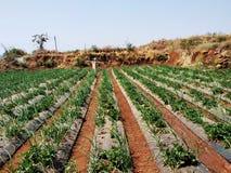 ферма клубники на Mahabaleshwar стоковое изображение rf