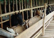 Ферма козы Стоковая Фотография RF