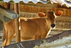 ферма коровы икры младенца Стоковые Фотографии RF