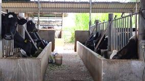 Ферма коровы молока на районе Дон Duong, городе Lat Da, провинции Lam Dong, Вьетнаме сток-видео