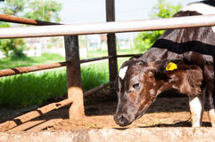 Ферма коровы Стоковое фото RF