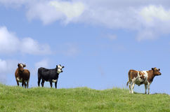 ферма коров животных Стоковые Фото
