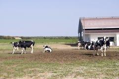 ферма коров Стоковая Фотография RF