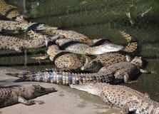 ферма крокодила Стоковое Изображение RF