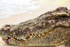 Ферма крокодила в Пхукете, Таиланде аллигатор опасный Стоковые Фото