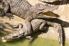 Ферма крокодила в Пхукете, Таиланде аллигатор опасный Стоковые Изображения RF