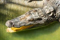 Ферма крокодила в Пхукете, Таиланде аллигатор опасный Стоковая Фотография