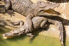 Ферма крокодила в Пхукете, Таиланде аллигатор опасный Стоковое Изображение RF