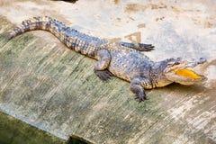 Ферма крокодила в Пхукете, Таиланде аллигатор опасный Стоковое Фото