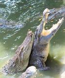 Ферма крокодила и зоопарк, ферма Таиланд крокодила Стоковое Изображение RF
