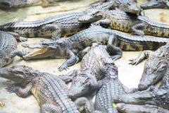 Ферма крокодила и зоопарк, ферма Таиланд крокодила Стоковое Изображение