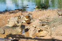 Ферма крокодила - крокодилы Стоковое Изображение