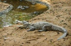 Ферма крокодила около Ченнаи Стоковое Изображение RF