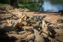 Ферма крокодила - скачущ для еды Стоковое Изображение RF