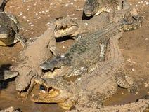 Ферма крокодила - скачущ для еды Стоковое Изображение