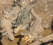 Ферма крокодила - скачущ Стоковое Фото