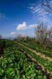 Ферма клубники Стоковая Фотография RF