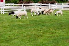 Ферма овец Стоковая Фотография RF