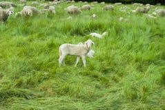 Ферма 2 овец Стоковое Фото