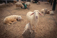 Ферма 2 овец Стоковые Фотографии RF