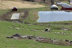 Ферма овец Стоковая Фотография