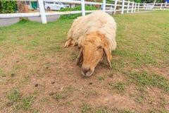 Ферма овец стоковые фотографии rf