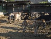 Ферма осла Крым Осень 2015 Стоковые Изображения RF