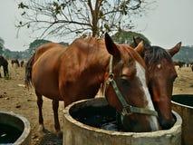 Ферма лошади в Таиланде Стоковое Изображение RF