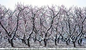 Ферма персикового дерева во время снега весны с цветениями Стоковые Изображения RF