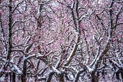Ферма персикового дерева во время снега весны с цветениями Стоковые Изображения