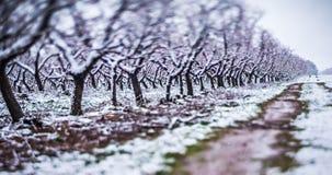 Ферма персикового дерева во время снега весны с цветениями Стоковое фото RF