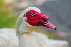 Ферма 2 портрета утки белая Стоковое Фото