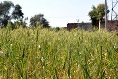 Ферма пшеницы Стоковая Фотография