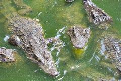 Ферма размножения крокодила в Siem Reap, Камбодже Стоковые Изображения