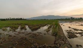 Ферма риса ландшафта Стоковые Изображения