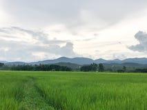 Ферма риса в тайском стоковое изображение rf