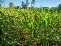 Ферма риса на Suphanburi, Таиланде стоковая фотография rf
