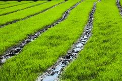 Ферма риса Стоковые Изображения RF