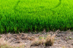 Ферма риса Стоковое Изображение