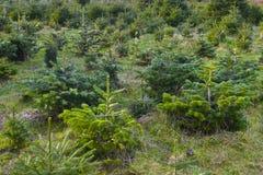 Ферма рождественской елки Стоковые Фотографии RF