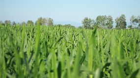 Ферма, рост, поле, окружающая среда, красивый, внешний, естественная, завод, зеленый цвет, природа стоковые изображения