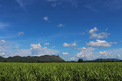 Ферма сахарного тростника Стоковое Изображение RF