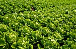 Ферма салата Стоковые Фотографии RF