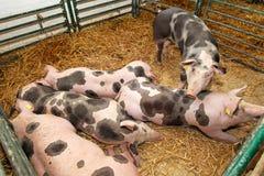 Ферма свиньи Стоковое Фото