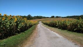 Ферма солнцецвета Стоковая Фотография RF