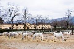 Ферма с лошадями Lipizaner Стоковое Изображение RF