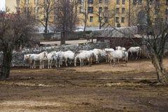 Ферма с лошадями Lipizaner Стоковая Фотография RF