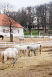 Ферма с лошадями Lipizaner Стоковое Фото