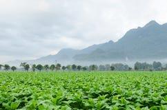 Ферма табака (tabacum Linn Nicotiana) стоковые изображения rf