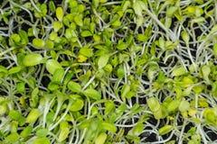 Ферма Таиланд Азия ростка цветка Солнця Vegetable органическая стоковые изображения rf